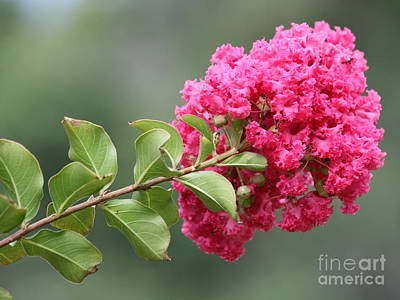 Photograph - Crepe Myrtle Branch by Carol Groenen