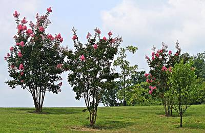 Crepe Myrtle Trees Art Print by Carolyn Ricks