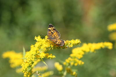 Photograph - Crescent On Goldenrod by Lucinda VanVleck