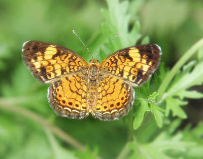 Photograph - Crescentspot Butterfly by David and Carol Kelly