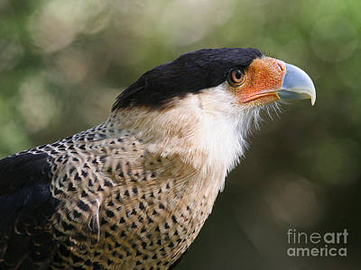 Photograph - Crested Caracara Bird Of Prey by Kevin McCarthy