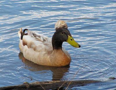 Photograph - Crested Duck by Jennie Richards