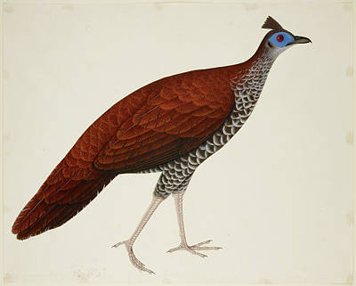 Watercolour Photograph - Crested Fireback Pheasant by British Library