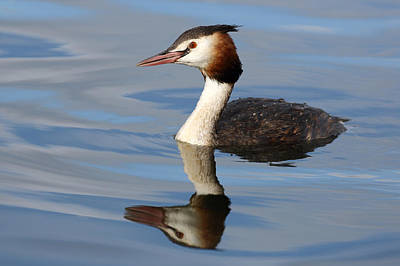 Photograph - Crested Grebe by Grant Glendinning