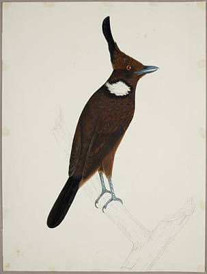 Illustration Technique Photograph - Crested Jay by British Library