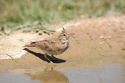 Crested Lark Drinking Water Art Print by Dr P. Marazzi