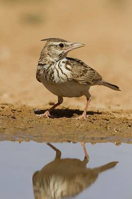 Crested Lark (galerida Cristata) Art Print by Photostock-israel