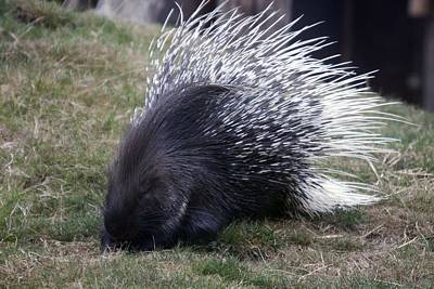 Photograph - Crested Porcupine - 0004 by S and S Photo