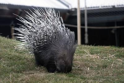 Photograph - Crested Porcupine - 0005 by S and S Photo