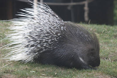 Photograph - Crested Porcupine - 0007 by S and S Photo