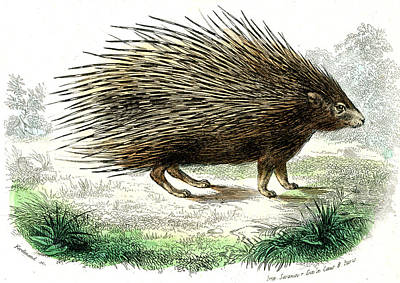 Porcupine Photograph - Crested Porcupine by Collection Abecasis