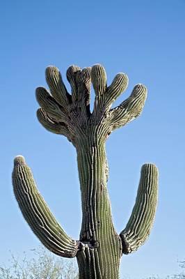 Crested Saguaro Cactus Art Print
