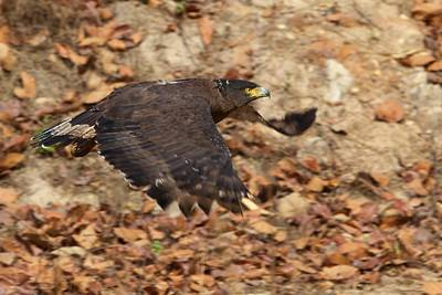 Photograph - Crested Serpent Eagle by David Beebe