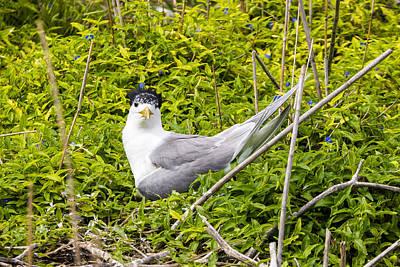 Photograph - Crested Tern by Steven Ralser