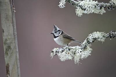 Crested Tit Art Print by Science Photo Library