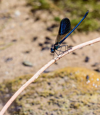 Photograph - Cretan Damselfly  by Paul Cowan
