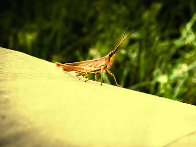 Photograph - Cricket by Kristie  Bonnewell