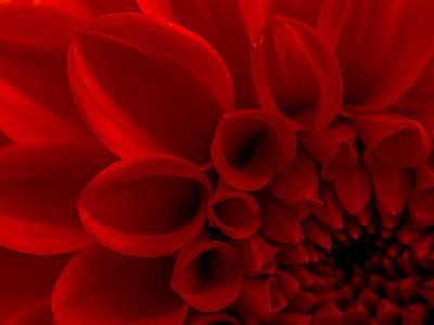 Justin Woodhouse Photograph - Crimson Dahlia Macro by Kaleidoscopik Photography
