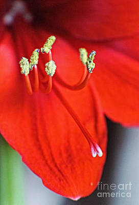 Photograph - Crimson - Floral Art by Ella Kaye Dickey
