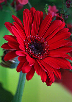 Crimson Gerbera In Pastel Original by Suzanne Gaff