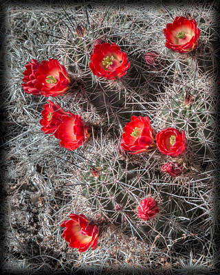 Photograph - Crimson Hedgehog Cactus by Alan Toepfer
