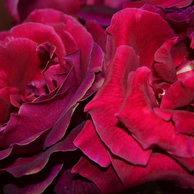 Photograph - Crimson Blush 1.1 by Cheryl Miller