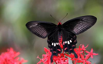 Photograph - Crimson Rose Butterfly by Ramabhadran Thirupattur
