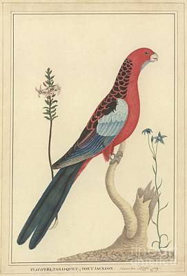 1789 Photograph - Crimson Rosella, 18th Century by Natural History Museum, London