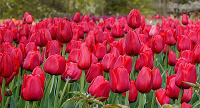 Crimson Tulips  Art Print by Richard Reeve