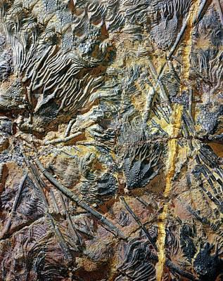 Crinoid Photograph - Crinoid Breccia by Dirk Wiersma