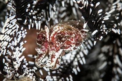 Crinoid Photograph - Crinoid Cuttlefish by Ethan Daniels