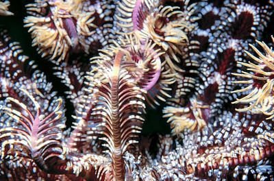 Photograph - Crinoids 2 by Dawn Eshelman