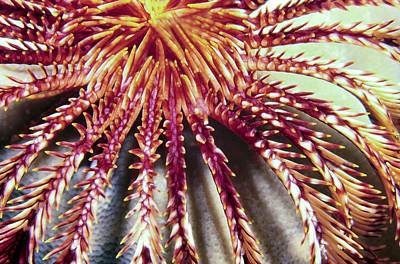 Photograph - Crinoids 3 by Dawn Eshelman