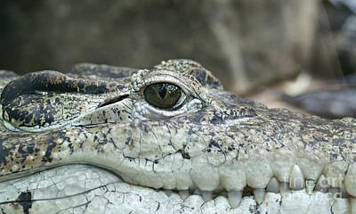 Art Print featuring the photograph Crocodile Animal Eye Alligator Reptile Hunter by Paul Fearn