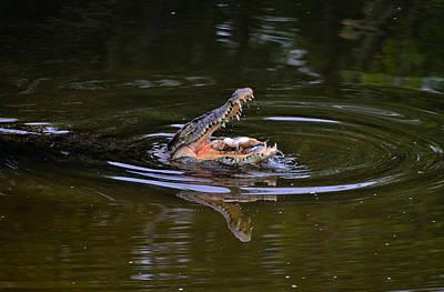 Photograph - Crocodile Feeding1 by Chua  ChinLeng