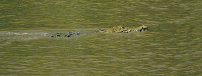 Verde River Photograph - Crocodile In A River, Palo Verde by Panoramic Images