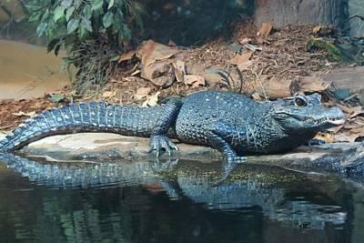 Photograph - Crocodile by Marilyn Burton