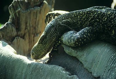 Crocodile Monitor Lizard Art Print by Sally Mccrae Kuyper/science Photo Library