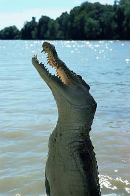 Crocodile Wall Art - Photograph - Crocodile by Pasquale Sorrentino/science Photo Library