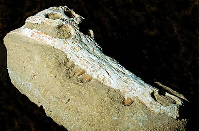 Photograph - Crocodile Skull Fossil by Millard H. Sharp
