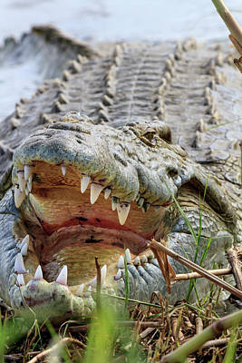 Crocodile Wall Art - Photograph - Crocodile Venting His Teeth by Tom Norring