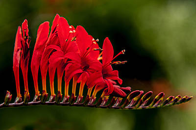 Photograph - Crocosmia by Kasandra Sproson