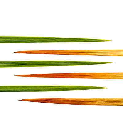 Crocosmia Leaves On White Background Art Print by Carol Leigh