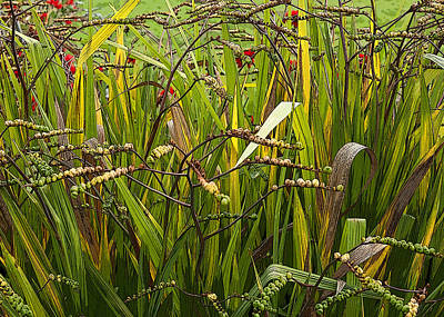 Photograph - Crocosmia Lucifer At Waterperry Gardens Uk by Rob Huntley