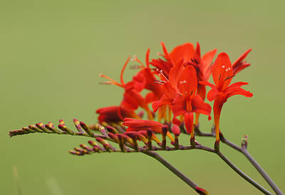 Photograph - Crocosmia by Shirley Heyn