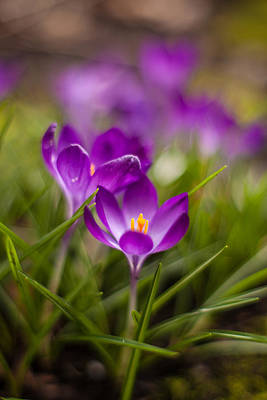 Thin Photograph - Crocus Blooms Spring Garden by Mike Reid