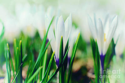 Fruehling Photograph - Crocus Blue by Sabine Jacobs