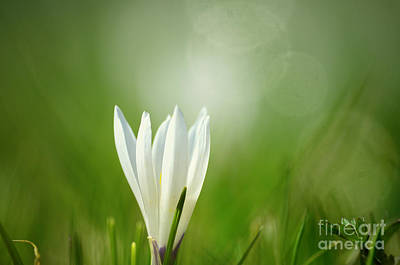 Mothers Day Photograph - Crocus Bokeh by Sabine Jacobs