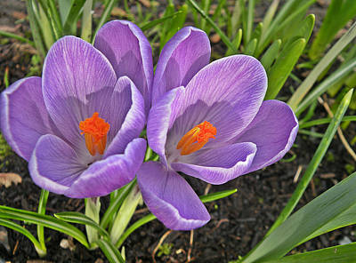 Photograph - Crocus Delight by Brian Chase