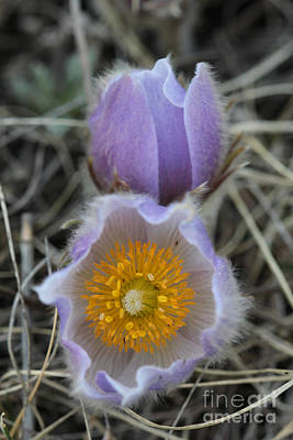 Photograph - Crocus Flower 2 by Donna L Munro